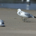 ring-billed-gull-Larus-delawarensis-Ormond-Beach-2012-03-13-IMG 4295