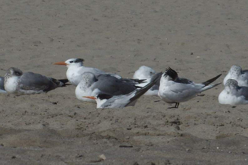 royal-and-elegant-terns-among-gulls-Ormond-Beach-2012-09-18-IMG_2780.jpg