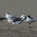 royal-and-elegant-terns-among-gulls-Ormond-Beach-2012-09-18-IMG 2780