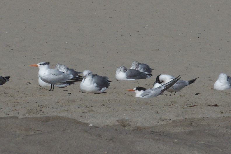 royal-and-elegant-terns-among-gulls-Ormond-Beach-2012-09-18-IMG_2782.jpg