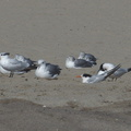 royal-and-elegant-terns-among-gulls-Ormond-Beach-2012-09-18-IMG 2782