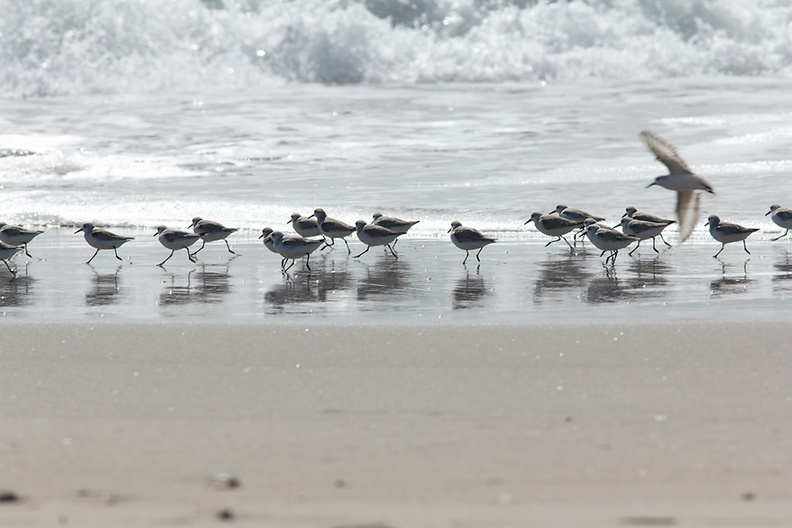 sanderlings-Calidris-alba-Ormond-Beach-2012-03-13-IMG_4320.jpg