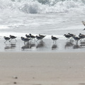 sanderlings-Calidris-alba-Ormond-Beach-2012-03-13-IMG 4320