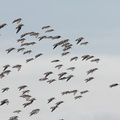 sanderlings-Calidris-alba-flying-Ormond-Beach-2012-03-13-IMG 4302