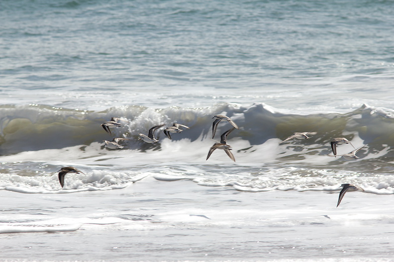 sanderlings-Calidris-alba-flying-Ormond-Beach-2012-03-13-IMG_4326.jpg