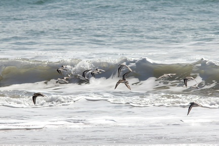 sanderlings-Calidris-alba-flying-Ormond-Beach-2012-03-13-IMG 4326