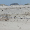 sanderlings-Calidris-alba-in-a-huddle-Ormond-Beach-2012-03-13-IMG 4299