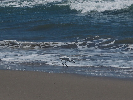 snowy-egret-Egretta-thula-foraging-in-surf-Port-Hueneme-beach-2012-08-14-IMG 2647