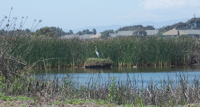 snowy-egret-Egretta-thula-on-nest-in-tidal-lagoon-Port-Hueneme-beach-2012-08-14-IMG_2649.jpg