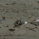 plovers shorebirds