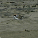 snowy-plovers-Ormond-Beach-2008-04-15-img 6911