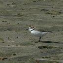 snowy-plovers-Ormond-Beach-2008-04-15-img 6913