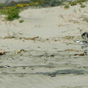 snowy-plovers-Ormond-Beach-2008-04-15-o1-img 6910