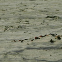 snowy-plovers-Ormond-Beach-2008-04-15-o2-img 6919