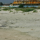 snowy-plovers-Ormond-Beach-2008-04-15-o3-img 6918