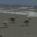 snowy-plovers-ormond-beach-2004-04-07-img 2478