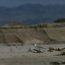 snowy-plovers-ormond-beach-2004-04-07-img 2481