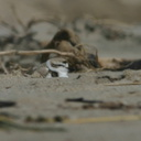 snowy-plovers-ormond-beach-2004-04-07-img 2482