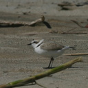 snowy-plovers-ormond-beach-2004-04-07-img 2487