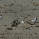 snowy-plovers-ormond-beach-2004-04-07-img 2493