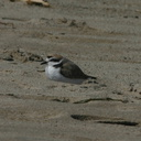 snowy-plovers-ormond-beach-2004-04-07-img 2500