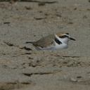 snowy-plovers-ormond-beach-2004-04-07-img 2502