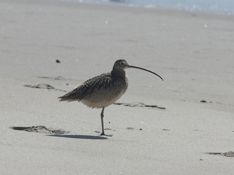 whimbrel-Numenius-phaeopus-Ormond-Beach-2012-03-13-IMG_4297.jpg