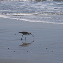 whimbrel-Numenius-phaeopus-Ormond-Beach-2012-03-21-IMG 1412