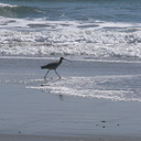 whimbrel-Numenius-phaeopus-Ormond-Beach-2012-03-21-IMG 1416