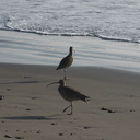 whimbrels-Port-Hueneme-beach-2012-12-08-IMG 2913