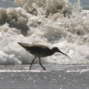 willet-near-wave-5