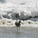 willet-near-wave-6sm