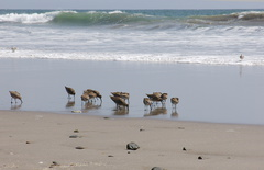 willets-foraging-Ormond-Beach-2013-04-15-IMG 0535