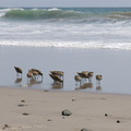 willets-foraging-Ormond-Beach-2013-04-15-IMG_0535.jpg