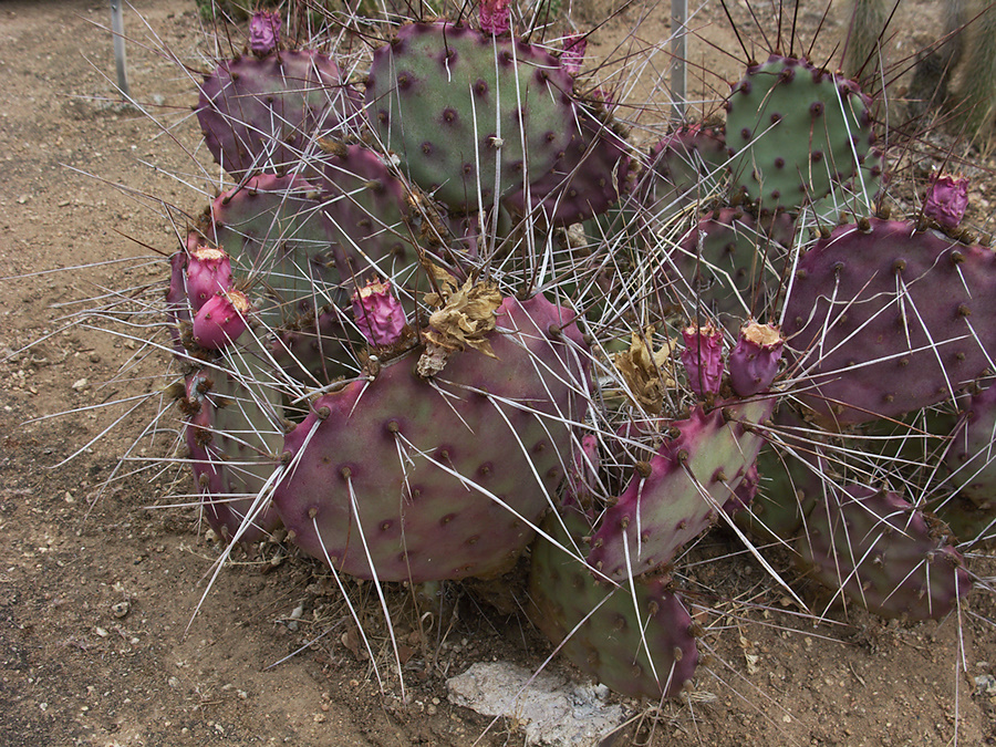 Opuntia-violacea-var-macrocentra-black-spined-prickly-pear-Mexico-UC-Riverside-Bot-Gard-2012-08-17-IMG 2669