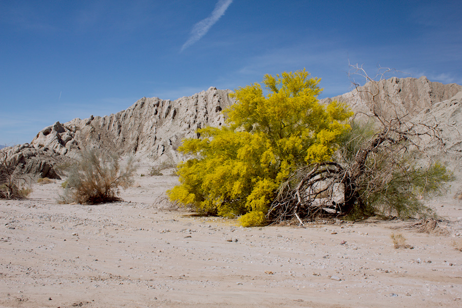 Cercidium-floridum-now-Parkinsonia-florida-paloverde-Box-Canyon-Rd-south-Joshua-Tree-NP-2016-03-04-IMG 2846