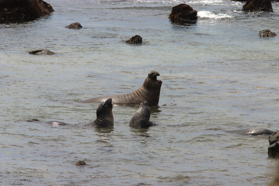 seals-arguing-in-the-shallows-2009-05-21-CRW 8075