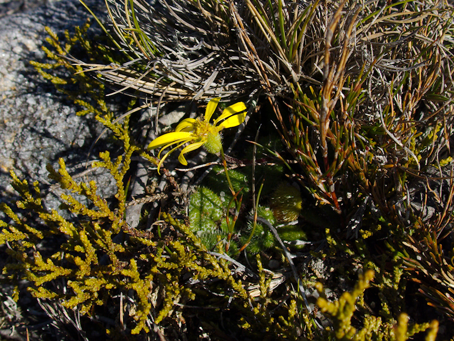 indet-yellow-composite-fuzzy-leaves-rosette-Denniston-plateau-2013-06-12-IMG 1360