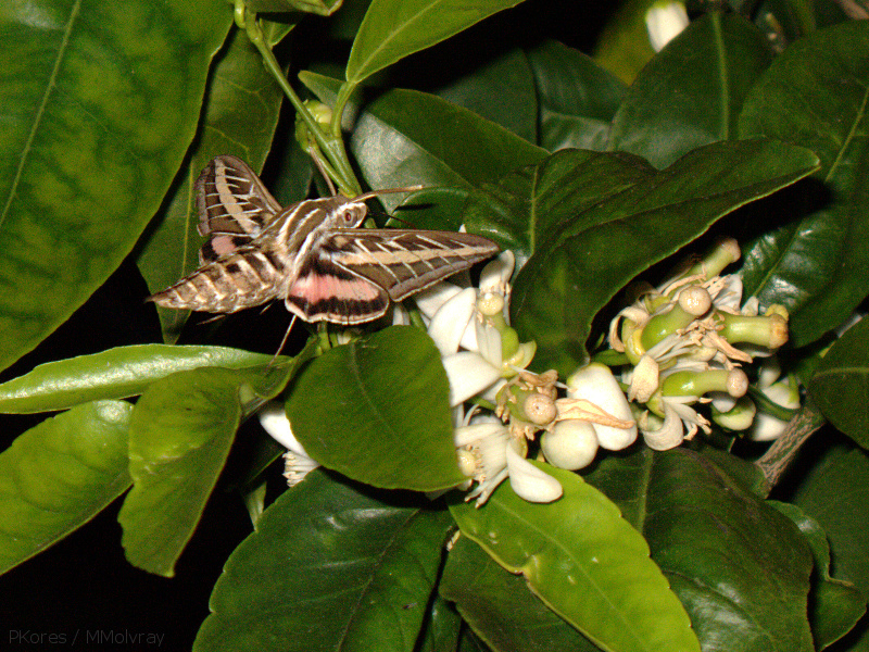 sphingid-moths-visiting-orange-tree-flowers-2009-02-28-IMG 2511
