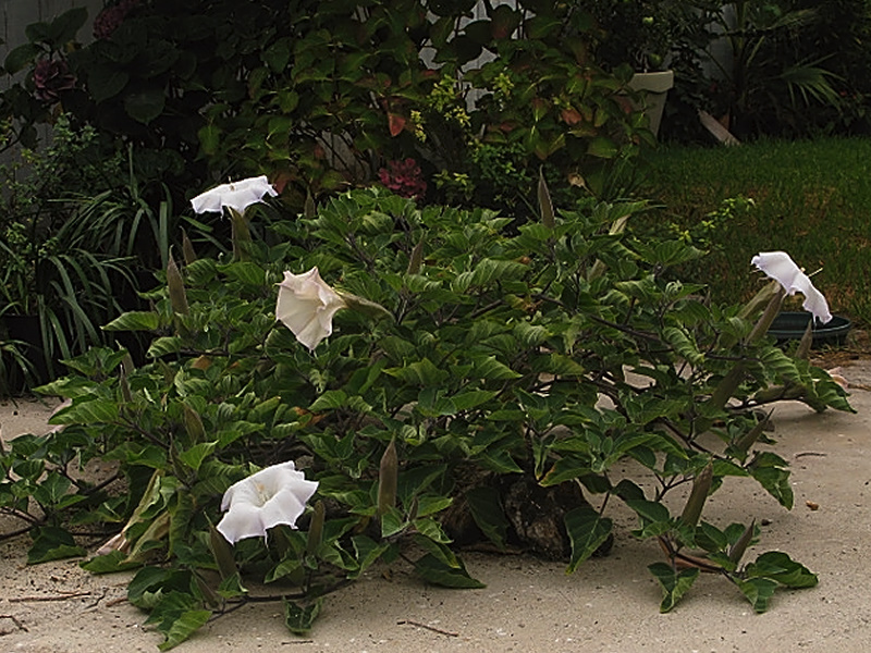 jimsonweed-plant-and-flowers-2008-08-30-IMG 1257