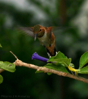allens-hummingbird-late may2006-3sm