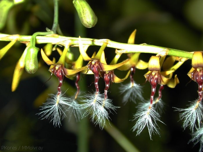 Bulbophyllum-sp-London-RHS-1997-2c.jpg
