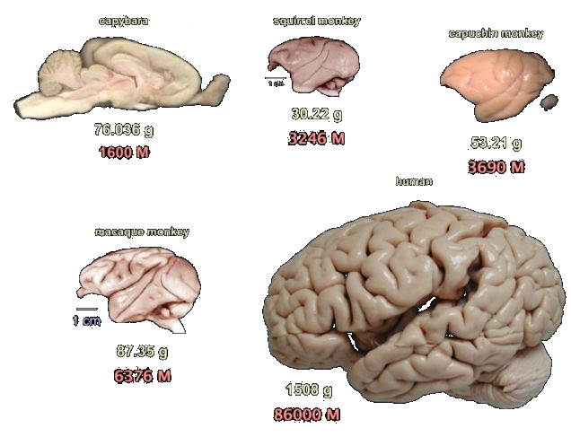 brains of different primates from humans to squirrel monkeys and one rodent, a capybara