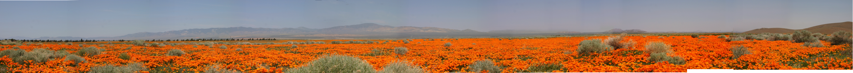 panoramic view of orange poppy fields stretching from horizon to horizon