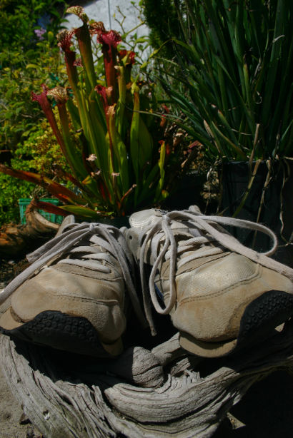 photo of shall we say worn jogging shoes in front of a rather nice insectivorous Sarracenia plant