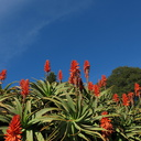 Aloe-arborescens-red-flowered-UCBerkeley-Bot-Gard-2013-03-01-IMG 0113