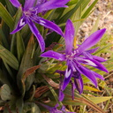 Babiana-sp-purple-flowered-Iridaceae-UCBerkeley-Bot-Gard-2013-03-01-IMG 0103