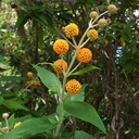 Buddleia-globosa-orange-ball-tree-Peru-Berkeley-2010-05-22-IMG 5425
