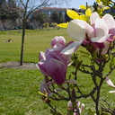 Magnolia-flowering-UCBerkeley-2013-03-01-IMG 0089