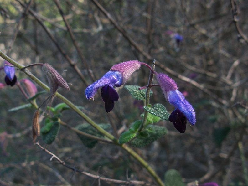 Salvia-semiatrata-bicolor-sage-blue-light-blue-Mexico-UCBerk-Bot-Gard-2012-12-13-IMG 3016
